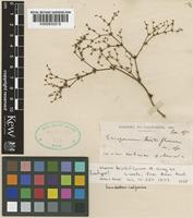 Isotype of Eriogonum hirtiflorum A.Gray ex S.Watson [family POLYGONACEAE]