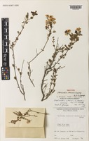 Isotype of Verticordia interioris C.A.Gardner ex A.S.George [family MYRTACEAE]
