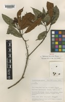 Isotype of Astronia brunnea J.F.Maxwell [family MELASTOMATACEAE]