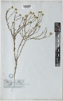 Aster parviflorus unrecorded [family COMPOSITAE]