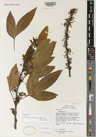 Isotype of Allophylastrum frutescens Acev.-Rodr. [family SAPINDACEAE]