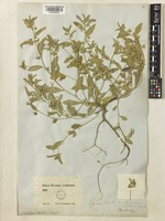 Ditaxis humilis (Engelm. & A.Gray) Pax [family EUPHORBIACEAE]