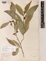 Aporosa yunnanensis (Pax & K.Hoffm.) F.P.Metcalf [family PHYLLANTHACEAE]