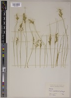 Holotype of Eriachne flaccida W.Hartley [family POACEAE]