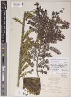 Holotype of Phyllanthus polyphyllus Willd. var. siamensis Airy Shaw [family PHYLLANTHACEAE]