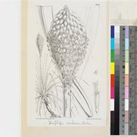 Kniphofia caulescens Baker published illustration from Curtis's Botanical Magazine