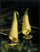 Nepenthes madagascariensis Poir. from Madagascar