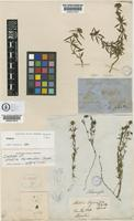 Isotype of Staelia thymoides Cham.&Schltdl. [family RUBIACEAE]
