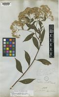 Isotype of Baccharis asperifolia Benth. [family COMPOSITAE]