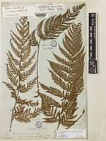 Lectotype of Ctenitis vilis unrecorded [family DRYOPTERIDACEAE]