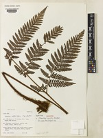 Holotype of Ctenitis croftii unrecorded [family DRYOPTERIDACEAE]