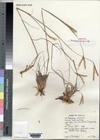 Holotype of Andropogon pungens Cope [family POACEAE]