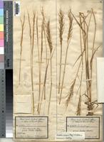 Holotype of Trichopteryx annua Stapf [family POACEAE]
