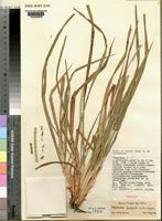 Holotype of Rhytachne latifolia Clayton [family POACEAE]