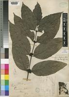 Lectotype of Tricalysia biafrana Hiern [family RUBIACEAE]