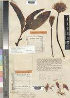Lectotype of Haemanthus somaliensis Baker [family AMARYLLIDACEAE]