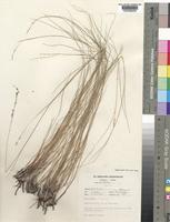 Holotype of Eragrostis lepidobasis T.A.Cope [family POACEAE]