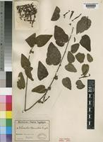 Type of Loranthus warneckei Engl. [family LORANTHACEAE]