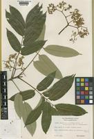 Isoneotype of Brunellia stenoptera Diels [family BRUNELLIACEAE]