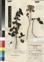 Holotype of Justicia galeata Hedrén [family ACANTHACEAE]