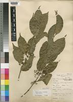 Neotype of Psydrax parviflora (Afzel.) Bridson subsp. parviflora [family RUBIACEAE]