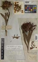 Holotype of Protea natalensis Phillips [family PROTEACEAE]