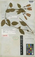 Syntype of Lehmanniella splendens (Hook.) Ewan [family GENTIANACEAE]