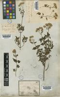 Ageratina glechonophylla (Less.) R.M.King & H.Rob. [family COMPOSITAE]