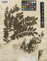 Isotype of Machaerium milleflorum Pittier [family LEGUMINOSAE-PAPILIONOIDEAE]