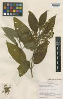 Isotype of Miconia tuckeri Gleason [family MELASTOMATACEAE]
