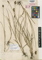 Syntype of Carex purdiei Boott [family CYPERACEAE]