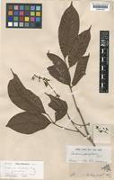 Type of Canarium pauciflorum Ridl. [family BURSERACEAE]