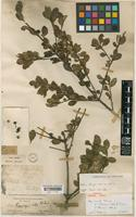 Syntype of Ilex thomsonii Hook.f. [family AQUIFOLIACEAE]