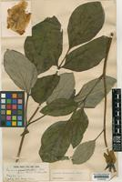 Type of Paeonia willmottiae Stapf [family PAEONIACEAE]