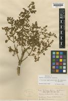 Syntype of Euodia chlorantha Lauterb. [family RUTACEAE]