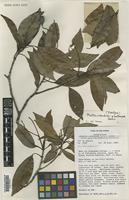 Isotype of Mastixiodendron plectocarpum S.P.Darwin [family RUBIACEAE]