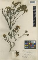 Type of Rhododendron sargentianum Rehder & E.H.Wilson [family ERICACEAE]