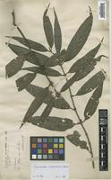 Isotype of Lasianthus baviensis (Drake) Pit. [family RUBIACEAE]