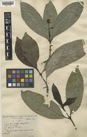 Type of Psychotria sempervirens Geddes [family RUBIACEAE]
