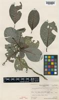 Isotype of Psychotria tubuaiensis Fosberg [family RUBIACEAE]
