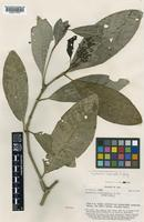 Isotype of Psychotria leptocalyx A.C.Sm. [family RUBIACEAE]