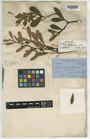 Syntype of Acacia anceps DC. var. angustifolia Benth. [family LEGUMINOSAE-MIMOSOIDEAE]