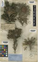 Isotype of Dryandra armata R.Br. [family PROTEACEAE]
