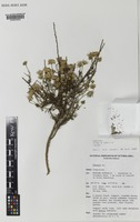 Isotype of Olearia humilis Lander [family ASTERACEAE]