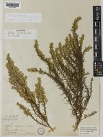 Isotype of Aster cassiniae F.Muell. [family ASTERACEAE]