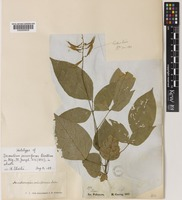 Holotype of Desmodium securiforme Benth. [family LEGUMINOSAE-PAPILIONOIDEAE]