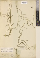 Isolectotype of Spartothamnella juncea (A.Cunn. ex Walp.) Briq. [family LAMIACEAE]