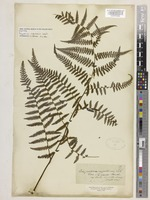 Isotype of Polypodium rugulosum Labill. [family POLYPODIACEAE]