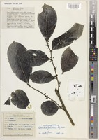 Holotype of Glochidion mindorense C.B.Rob. subsp. paludicola Airy Shaw [family PHYLLANTHACEAE]