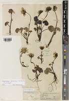 Lectotype of Cremanthodium decaisnei C.B.Clarke [family ASTERACEAE]